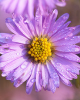 water droplets on aster flower