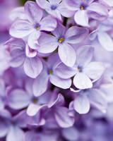 close up of lilacs