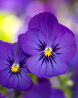 purple viola flowers