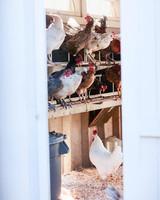 chickens on shelves through white doors