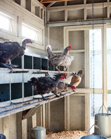 chickens standing on bars in coup