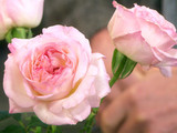 msshow_6014_english_roses_prev.jpg