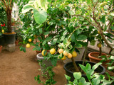 msshow_6108_citrus_plants_prev.jpg