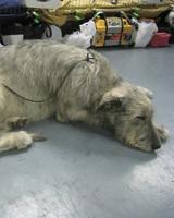 r_0309_irish_wolfhound_resting.jpg
