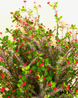crown of thorn succulent plant