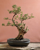 bonsai-korean-boxwood-mld108122.jpg