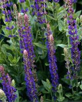 purple salvia flowers