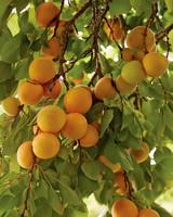 rockefeller-apricot-251-d112371.jpg
