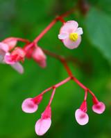 pink hardy begonia flowers
