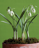 snowdrops-green-tipped-mld107313.jpg