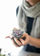 tvfs-purple-echeveria-hands-0428.JPG (skyword:266760)