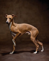 msl_1110_italiangreyhound_00026_2.jpg