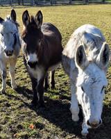 three donkeys
