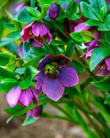 purple hellebore bush