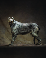 md105724_1110_irishwolfhound_00052.jpg