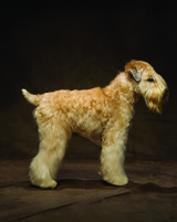 md105724_1110_wheatonterrier_00022.jpg