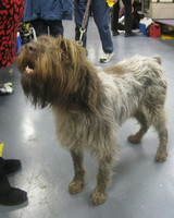 r_0309_wirehaired_pointing_griffon.jpg