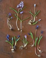 blue-bulbs-variety-2-0911-mld107428.jpg
