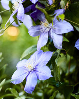 purple spiraling clematis