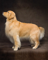 md105724_1110_goldenretriever_00002.jpg