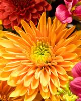 orange and pink chrysanthemum flowers