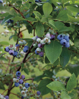 four-seasons-farm-blueberries-md107849.jpg