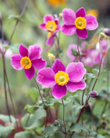 pink japanese anemone flowers in grass