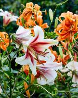 Pink and White Lilies Growing in Martha Stewart Border Garden, Bedford New York