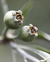 ms_edible_garden_mg_0550_willowleaf_pear_buds.jpg