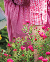 pink-alma-potschke-asters-leelanau-5-md109420.jpg