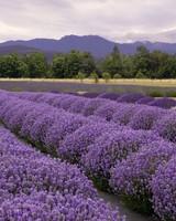 Purple Haze lavender farm in Washington