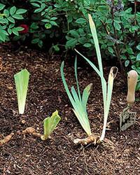 Replanting Irises