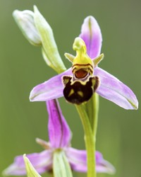 The Bee Orchid May Be Nature's Most Clever (and Adorable) Trick