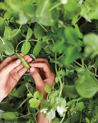 Get to Know More Pea Varieties (Plus Recipes!)