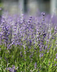 The Story Behind Martha's Lavender