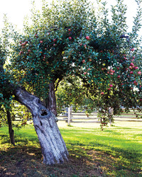 Preserving America's Apples: There's More Than What You See in The Supermarket!