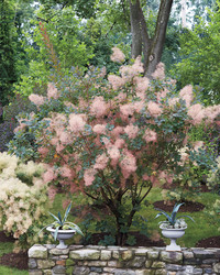 Smoke Bush: Martha's Fairytale Plants