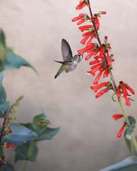 Hummingbird-Friendly Plants