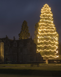 Behold: Britain's Tallest Living Christmas Tree