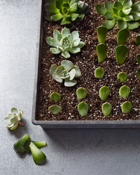 Propagating Succulents: 1 Plant, Hundreds of Babies!