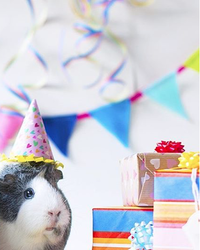 Watch a Guinea Pig Enjoy Her Own Teeny-Tiny Birthday Party
