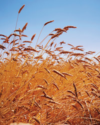 Hayden Flour Mills: Bringing Ancient Grains Back