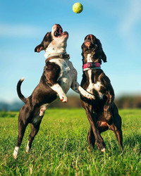 Are Large Dogs Smarter Than Smaller Dogs? One Study Says Yes