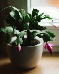 Help Your Christmas Cactus Live Its Best Life