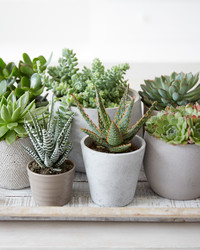 10 Popular Succulents to Grow Indoors