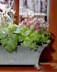 Fragrant Houseplants