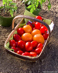 Growing Tomatoes for Canning