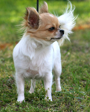 AKC Meet the Breeds: Chihuahua