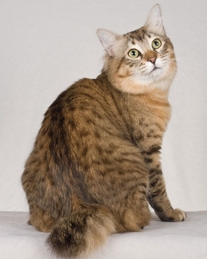 cat-breeds-jd28-143.jpg