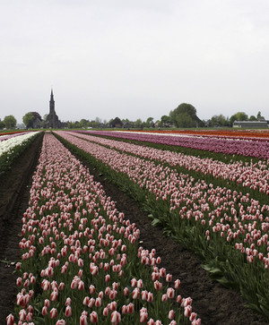 A Tulip Tour with Andrew Beckman